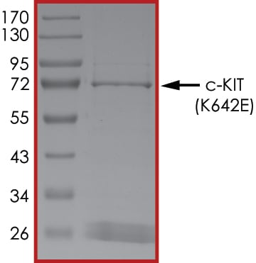 SDS-PAGE - Recombinant human c-Kit (mutated K642E) protein (Active) (ab268417)
