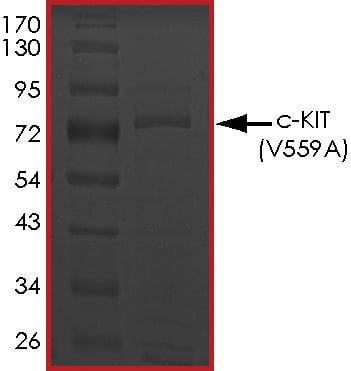 SDS-PAGE - Recombinant human c-Kit (mutated V559 A) protein (Active) (ab268420)