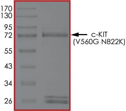 SDS-PAGE - Recombinant human c-Kit (mutated V560 G + N822 K) protein (Active) (ab268421)
