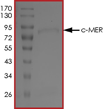 SDS-PAGE - Recombinant human MERTK protein (Active) (ab268422)