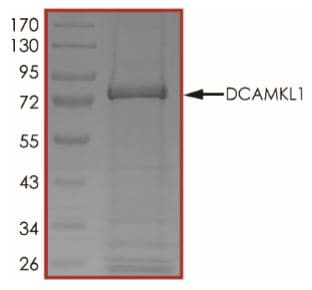 SDS-PAGE - Recombinant human DCAMKL1 protein (Active) (ab268438)