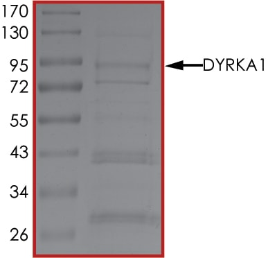 SDS-PAGE - Recombinant rat DYRK1A protein (Active) (ab268451)