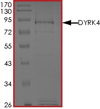 SDS-PAGE - Recombinant human DYRK4 protein (Active) (ab268452)