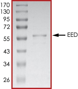SDS-PAGE - Recombinant Human EED protein (Tagged-His Tag) (ab268453)