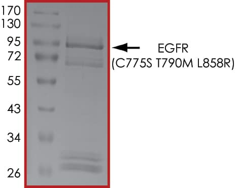 SDS-PAGE - Recombinant human EGFR (mutated C775S + T790M + L858R) protein (Active) (ab268458)
