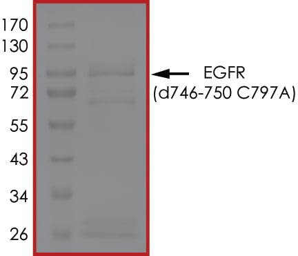 SDS-PAGE - Recombinant human EGFR deleted 746-750 (mutated C797A) protein (Active) (ab268463)