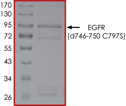 SDS-PAGE - Recombinant human EGFR deletion 747-750 (mutated C797 S) protein (Active) (ab268464)