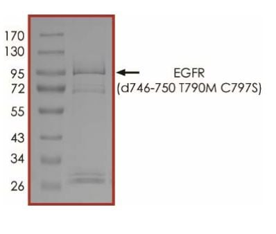 SDS-PAGE - Recombinant human EGFR deletion 746-750 (mutated T790 M + C797 S) protein (Active) (ab268466)