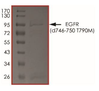SDS-PAGE - Recombinant EGFR deletion 746-750 (mutated T790 M) protein (Active) (ab268470)