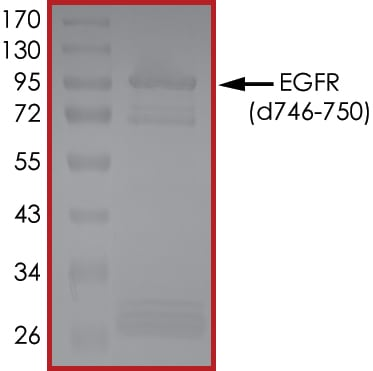 SDS-PAGE - Recombinant EGFR protein deletion 746-750 (Active) (ab268471)