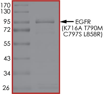 SDS-PAGE - Recombinant human EGFR (mutated K716 A + T790 M + C797 S + L858 R) protein (Active) (ab268489)