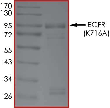 SDS-PAGE - Recombinant human EGFR (mutated K716 A) protein (Active) (ab268490)
