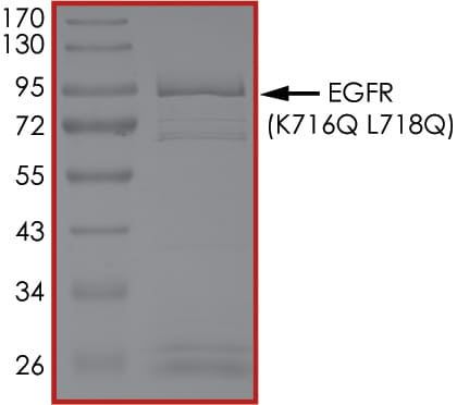 SDS-PAGE - Recombinant human EGFR (mutated K716 Q + L718 Q) protein (Active) (ab268491)
