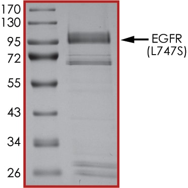 SDS-PAGE - Recombinant human EGFR (mutated L747 S) protein (Active) (ab268496)