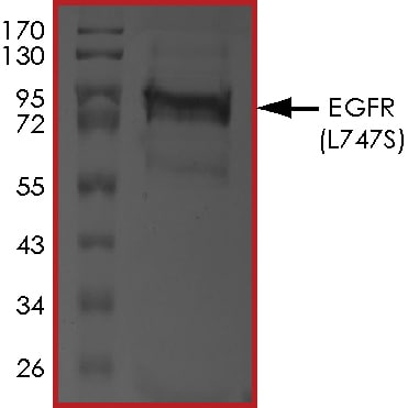 SDS-PAGE - Recombinant human EGFR (mutated L747 S) protein (Active) (ab268497)