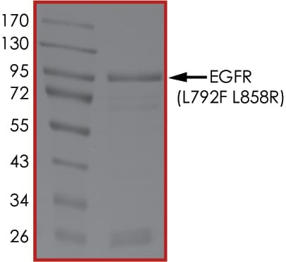 SDS-PAGE - Recombinant human EGFR (mutated L792 F + L858 R) protein (Active) (ab268498)