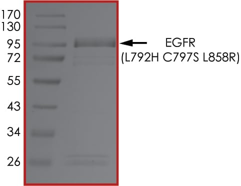 SDS-PAGE - Recombinant human EGFR (mutated L792 H + C797 S + L858 R) protein (Active) (ab268500)
