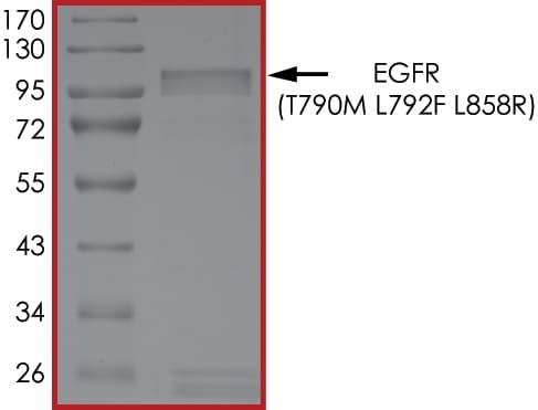 SDS-PAGE - Recombinant human EGFR (mutated T790M + L792F + L858R) protein (ab268509)