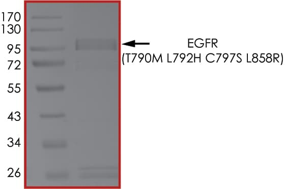SDS-PAGE - Recombinant human EGFR (mutated T790 M + L792 H + C797 S + L858 R) protein (Active) (ab268510)