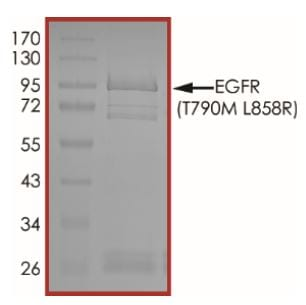 SDS-PAGE - Recombinant human EGFR (mutated T790 M + L858 R) protein (Active) (ab268512)
