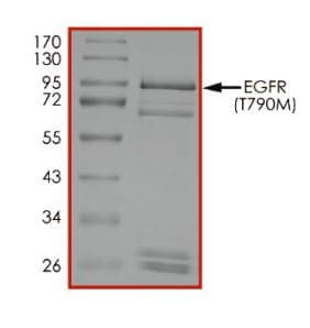 SDS-PAGE - Recombinant human EGFR (mutated T790 M) protein (Active) (ab268513)