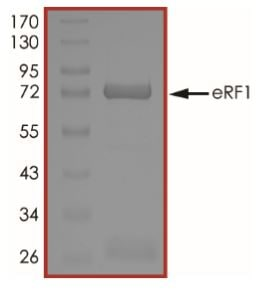 SDS-PAGE - Recombinant Human eRF1 protein (Tagged) (ab268534)