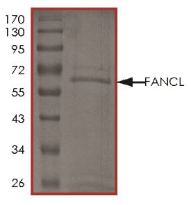 SDS-PAGE - Recombinant Human FANCL protein (Tagged) (ab268550)