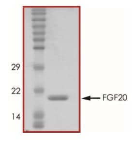 SDS-PAGE - Recombinant human FGF20 protein (Active) (ab268556)