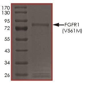 SDS-PAGE - Recombinant human FGFR1 (mutated V561M) protein (Active) (ab268561)
