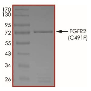 SDS-PAGE - Recombinant human FGFR2 (mutated C491F) protein (Active) (ab268563)