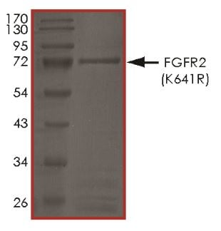 SDS-PAGE - Recombinant human FGFR2 (mutated K641 R) protein (Active) (ab268566)