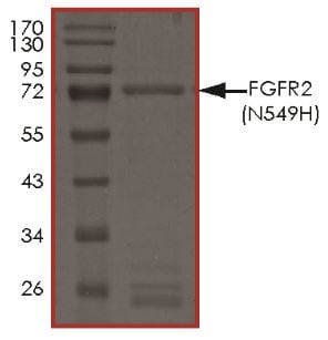 SDS-PAGE - Recombinant human FGFR2 (mutated N549 H) protein (Active) (ab268568)