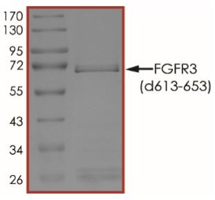 Recombinant Human FGFR3 (deleted C613 + N653) protein (Tagged) (ab268570)