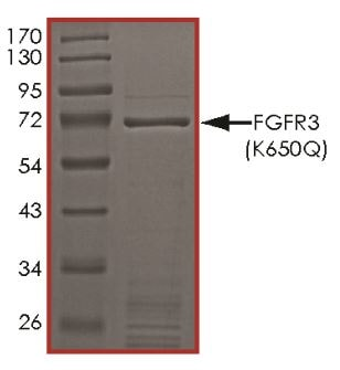 SDS-PAGE - Recombinant human FGFR3 (mutated K650 Q) protein (Active) (ab268574)