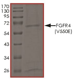 SDS-PAGE - Recombinant human FGFR4 (mutated V550E) protein (Active) (ab268576)