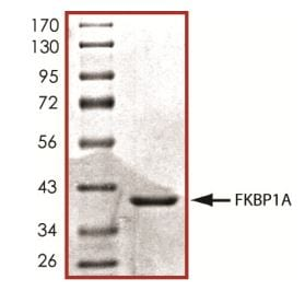 SDS-PAGE - Recombinant Human FKBP12 protein (Tagged) (ab268579)