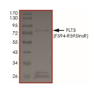 SDS-PAGE - Recombinant human Flt3 / CD135 (mutated ) protein (Active) (ab268581)