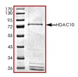 SDS-PAGE - Recombinant human HDAC10 protein (Active) (ab268611)