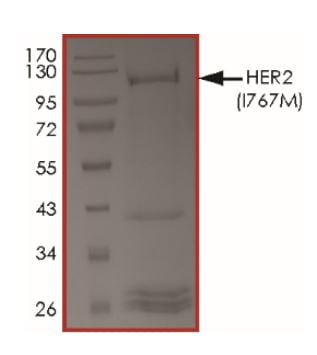 SDS-PAGE - Recombinant human ErbB2 / HER2 (mutated I767M) protein (Active) (ab268627)