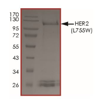 SDS-PAGE - Recombinant human ErbB 2 (mutated L755 W) protein (Active) (ab268629)