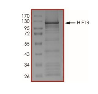 SDS-PAGE - Recombinant Human HIF1 beta protein (Tagged) (ab268638)