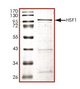 SDS-PAGE - Recombinant Human HSF1 protein (Tagged) (ab268644)