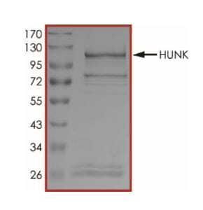 SDS-PAGE - Recombinant human B19 protein (Active) (ab268650)