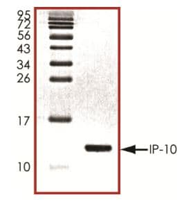 SDS-PAGE - Recombinant Human IP10 protein (ab268677)