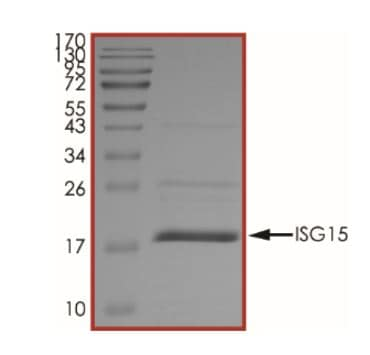 SDS-PAGE - Recombinant Human ISG15 protein (His tag) (ab268685)