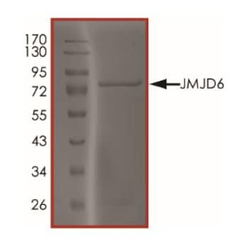 SDS-PAGE - Recombinant Human JMJD6 protein (ab268692)