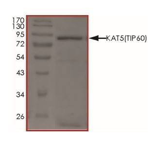 SDS-PAGE - Recombinant KAT5 / Tip60 protein (ab268696)