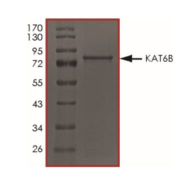 SDS-PAGE - Recombinant human KAT6B / MORF protein (ab268697)
