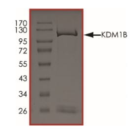 SDS-PAGE - Recombinant Mouse LSD2 / AOF1 protein (ab268699)