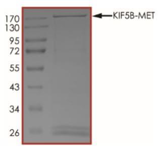 SDS-PAGE - Recombinant human Met (c-Met) + KIF5B protein (Active) (ab268706)